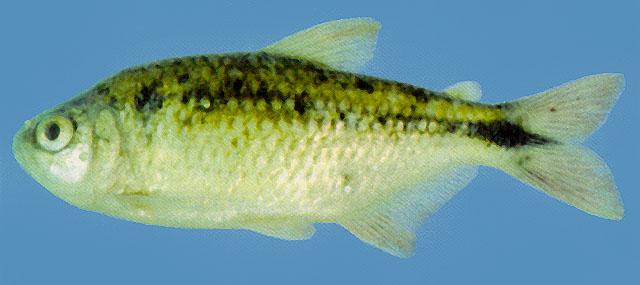 Astyanax mexicanus, Mexican tetra : aquarium - Search FishBase
