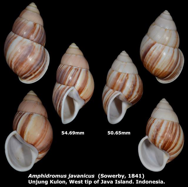 Amphidromus javanicus 50.65 & 54.69mm
