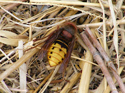 Not an Asian Hornet. This is a European Hornet.