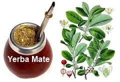 Drinking Yerba Mate for Weight Loss / Fitness / Fat Burning