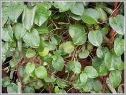 Manfaat daun binahong, daun binahong untuk kesehatan, fungsi daun binahong