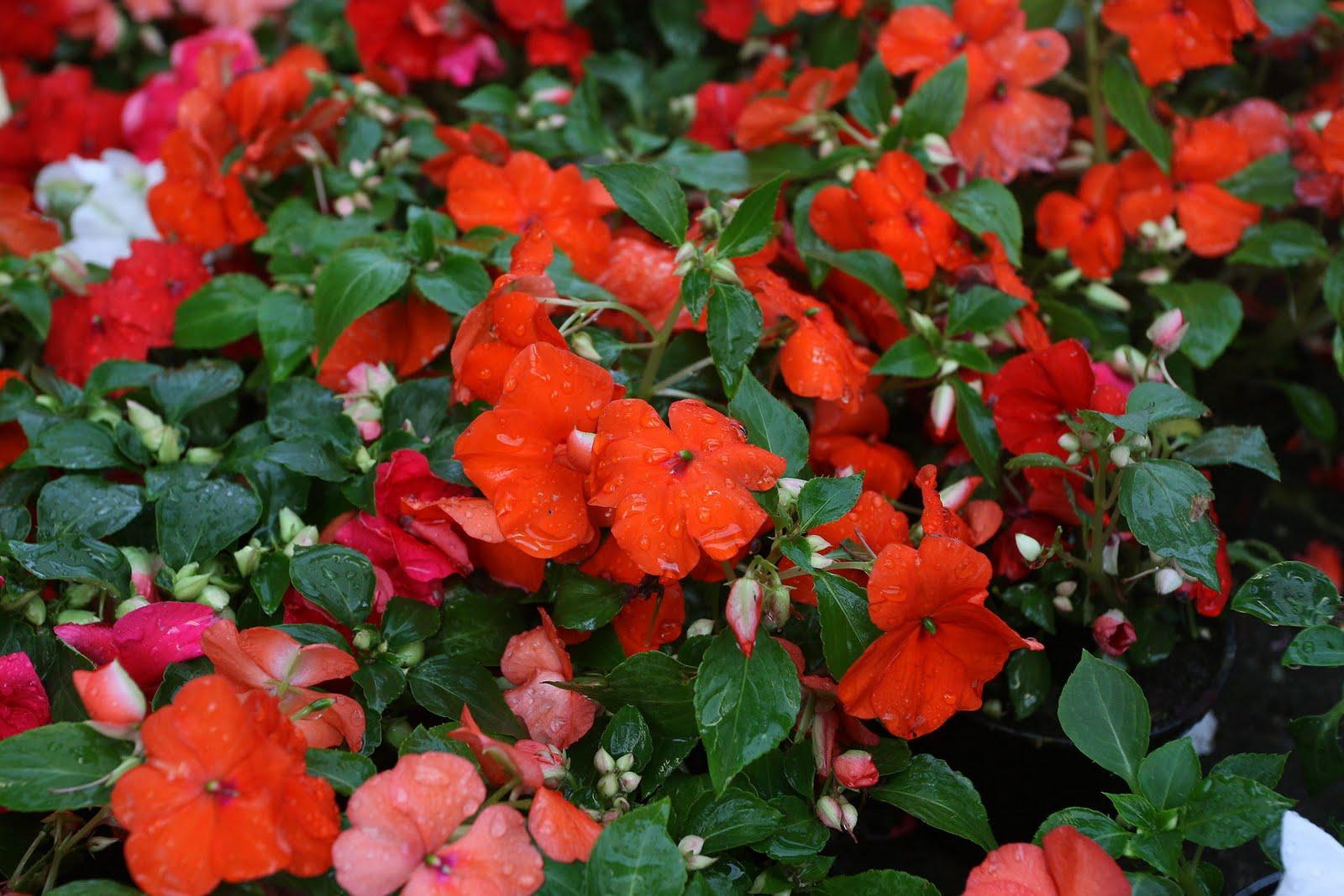 Im genes de flores y plantas alegr a - Planta alegria de la casa ...