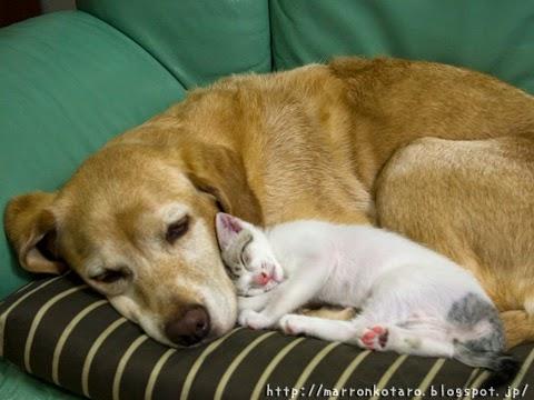 ラブラドールと子猫のおやすみ
