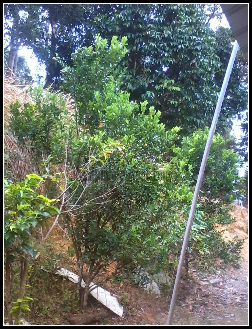 Pokok Limau Kasturi