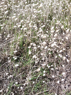 """A shot of fluffy grass that grows along the shore. When I was a child, we called it """"bunny tails"""" because that's what it looks like."""