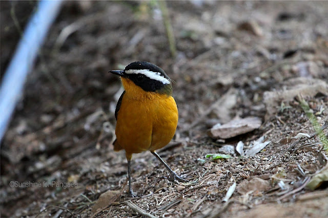 Rüppell's Robin-Chat (Cossypha semirufa)