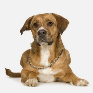 canine hepatitis
