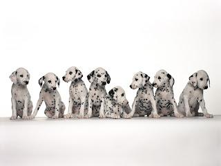 Funny Dalmatian Puppies