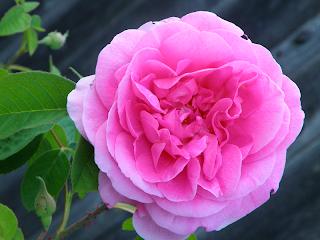 Heritage Pink Rose