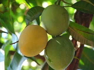 Mesmo plantada em fundo de quintal, a fruteira oferece oportunidade de rendimentos se for cultivada com irrigação e adubação corretas.