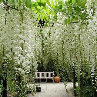 Studio floral dora santoro glicinia for Planta decorativa toxica
