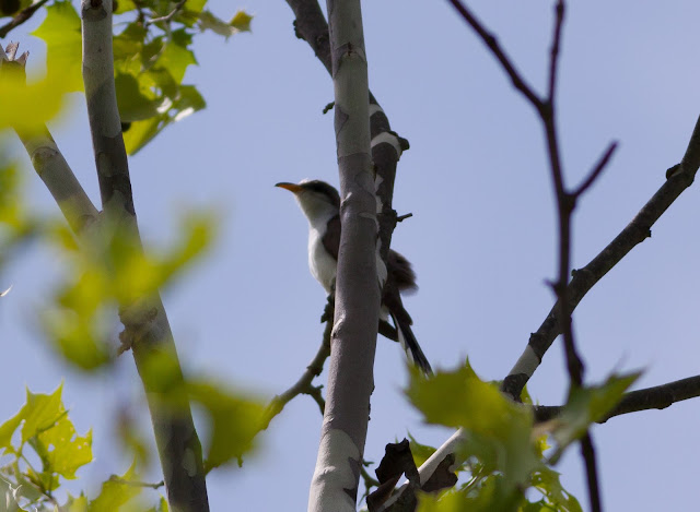 Yellow-billed Cuckoo - Doodletown, New York
