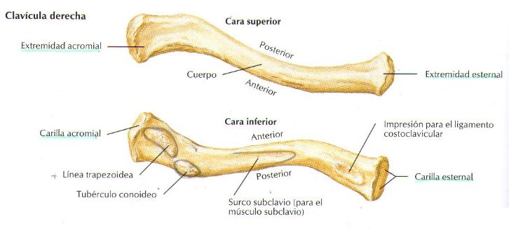 Anatomía Humana: Osteología miembro superior [Clavícula]