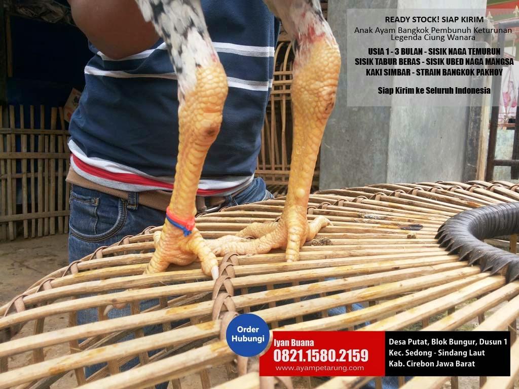 anak ayam bangkok naga temurun tabur beras kaki simbar jual