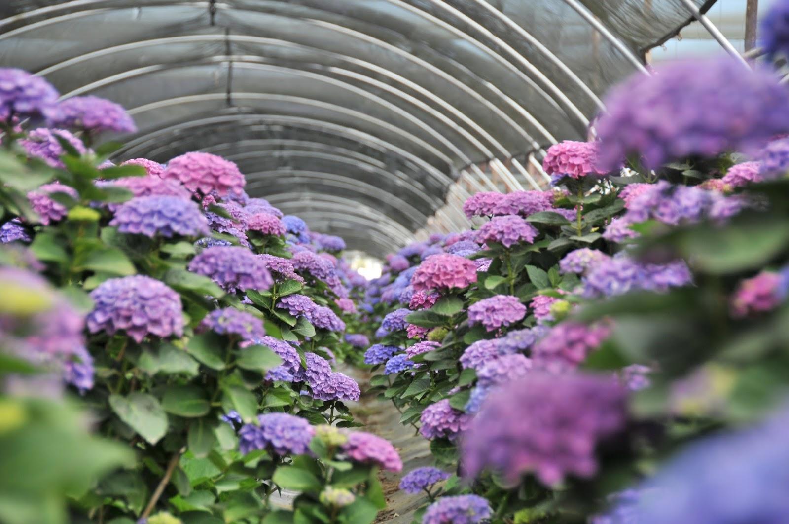 The new everlasting colors of hydrangea flower talk growing purple hydrangea izmirmasajfo