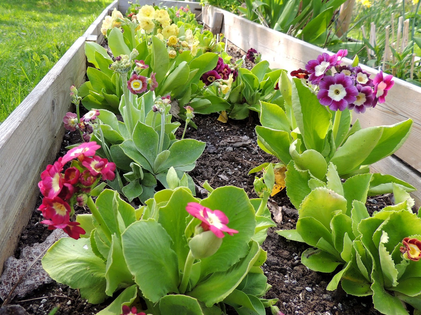 Sweden's auricula club: spring care: part 2 auriculas in borders.