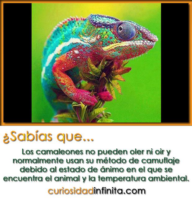 curiosidades del camaleon, lengua larga, cambian de color, camaleón transformado
