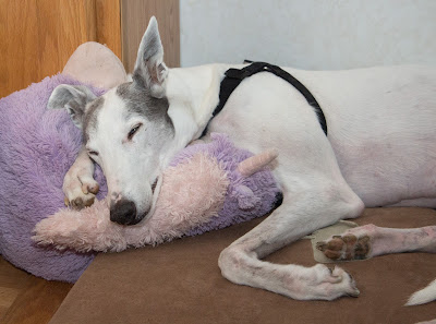 Blue greyhound asleep
