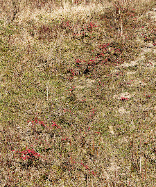 Cotoneasters in Riddlesdown quarry, 28 December 2015.