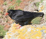 Cornish Chough Paper