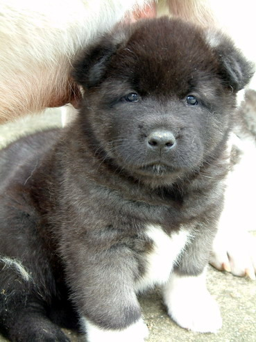 Akita Puppies on Akita Puppies Images   Puppies Pictures Online
