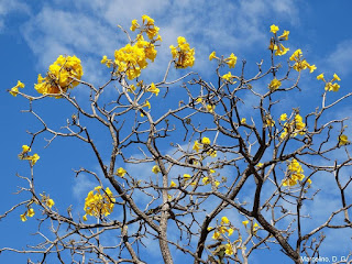 Ipê amarelo - Espécie nativa do cerrado na área urbana de Palmas.