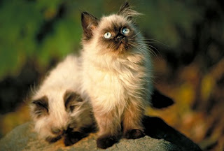 Himalayan Cat Pictures