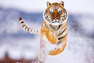 High Quality Tiger Running Cellphone wallpaper for download free