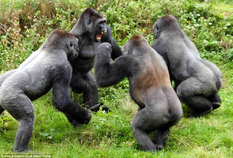 Monkeys In The News: Dramatic Gorilla Fight Over A Tomato Caught On ...