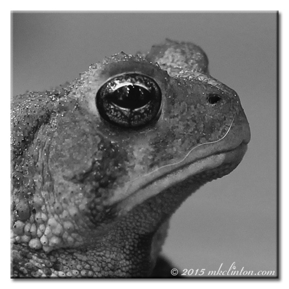 B & W close-up pf toad with dog hair mustache