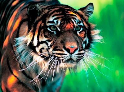 Panthera pardus orientalis (Leopardo de Amur)
