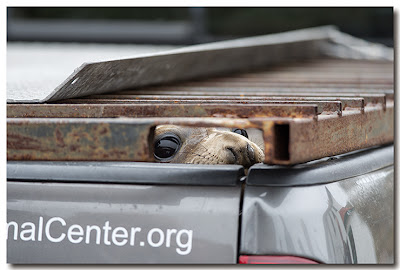 Northern Elephant Seal peeks through opening in truck