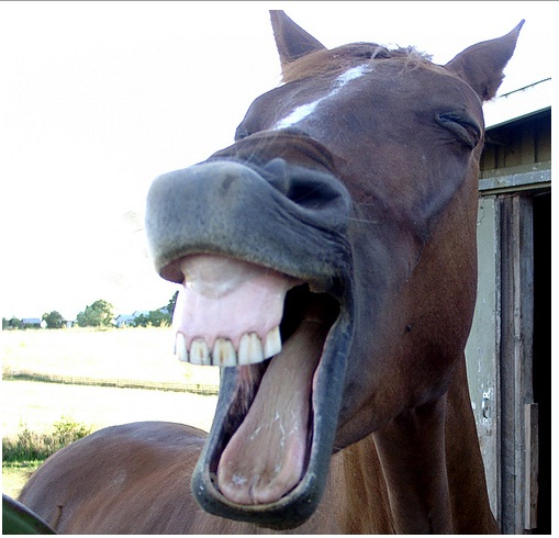 Funny Laughing Horse Face