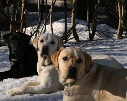 Cutest Dog Breeds In The World Labrador Retrievers