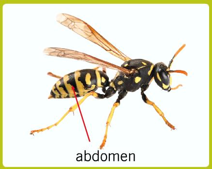 Arthropod abdomen