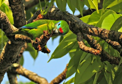 Double-eyed Fig Parrot - Female