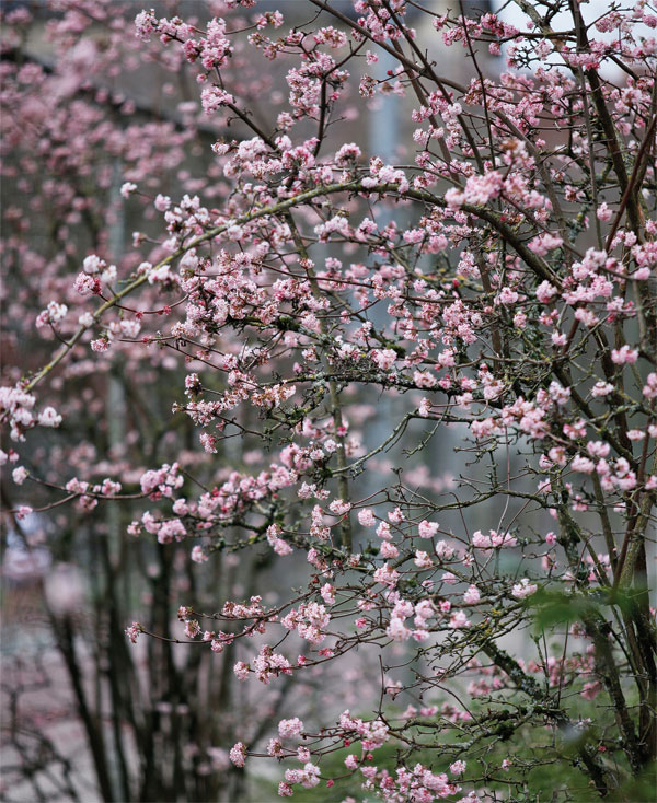 plant inventory viburnum bodnantense dawn viburnum. Black Bedroom Furniture Sets. Home Design Ideas