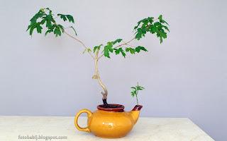 http://fotobabij.blogspot.com/2015/05/moje-bonsai-klon-polny-w-czajniku.html