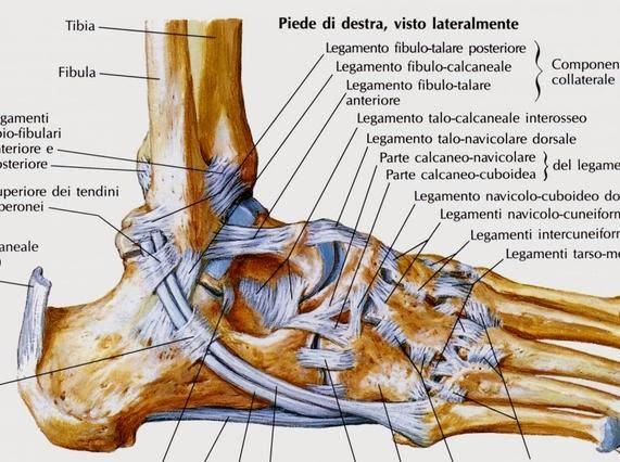 Appunti di scienze motorie traumatologia caviglia for Disegni del portico laterale