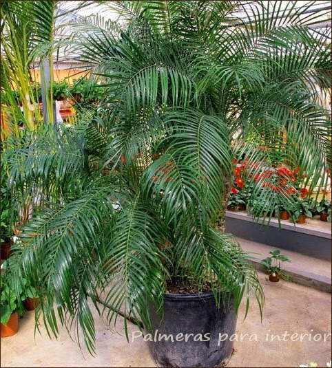 Flores plantas de interior exterior consejos palmeras - Palmeras plantas exterior ...