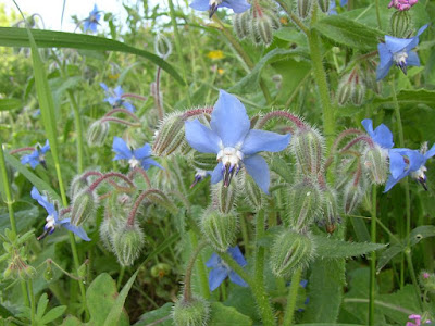 Borage (Borago Officinalis) Overview, Health Benefits, Side effects