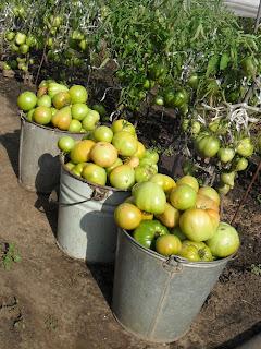 7 августа, собрано 3 ведра помидоров