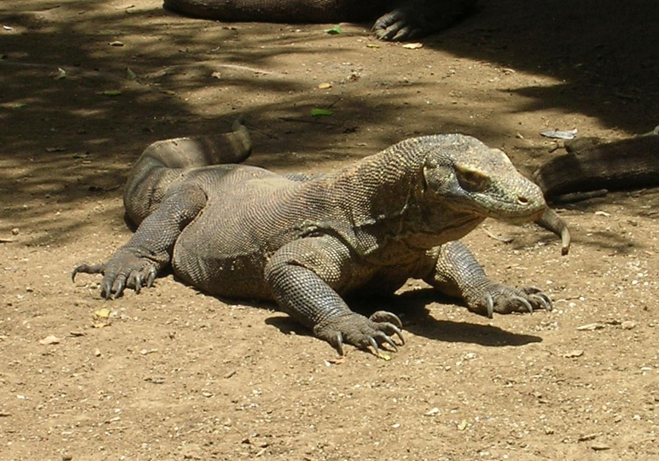 dragón de Komodo,Isla de Flores, vuelta al mundo, round the world, La vuelta al mundo de Asun y Ricardo