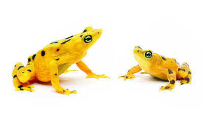 Panamanian Golden Frogs Facts, Facts about Panamanian Golden Frogs, Interesting facts about Panamanian Golden Frogs