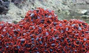 Millions of red crabs