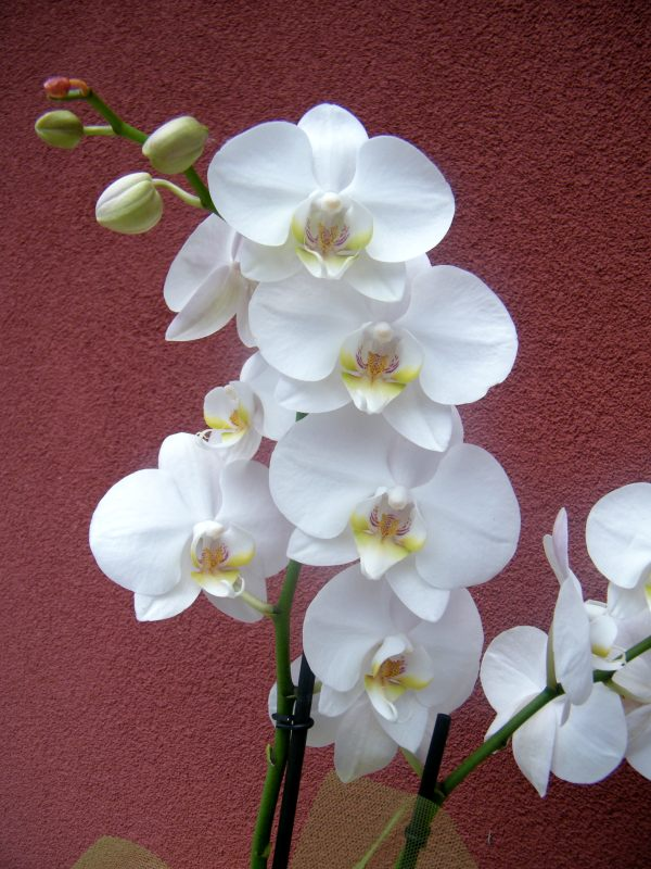 Ilfilodelverde orchidea bianca - Come curare un orchidea in casa ...