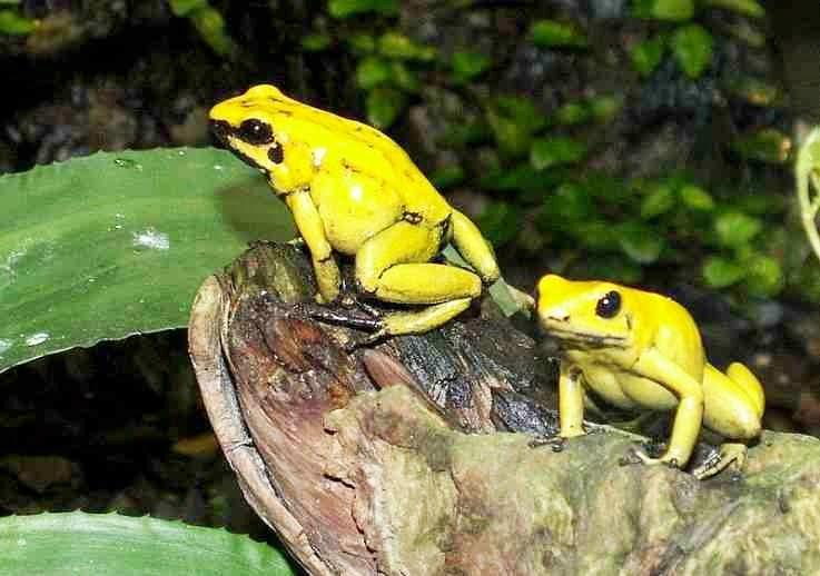 racun katak emas