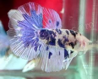 gambar ikan cupang laga