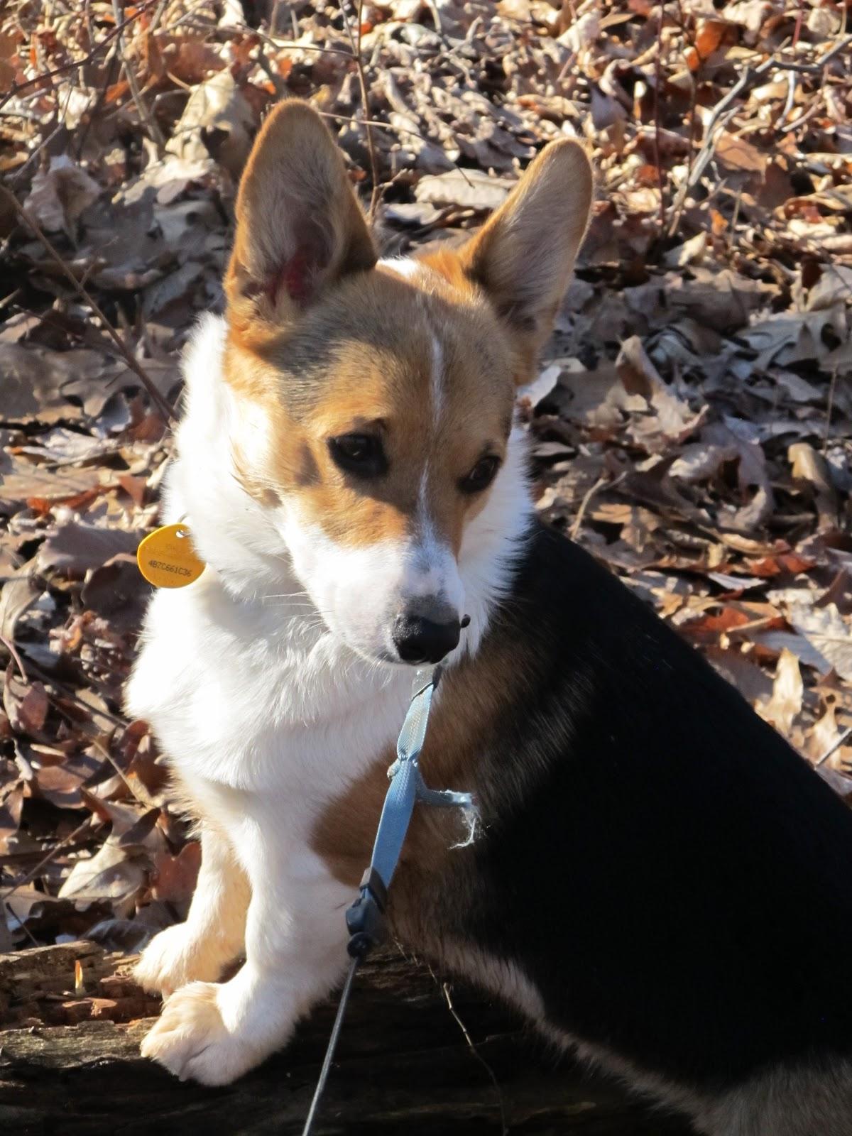 Corgi Beagle Mix - Dog Training Home | Dog Types