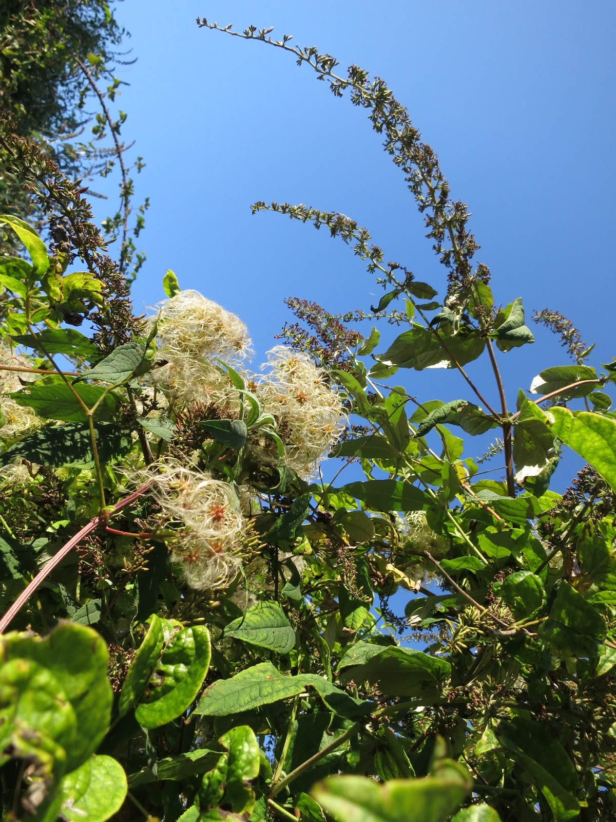 Seed heads of wild clematis and dead buddlleia flowers September 24th 2014